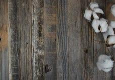 棉花在木头的蒴分支 免版税图库摄影