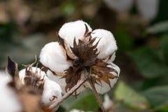 棉花在棉花领域的蒴词根背面图宏指令  库存图片