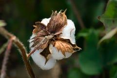棉花在棉花领域的蒴词根背面图  免版税库存照片