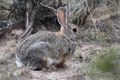 棉花在鼠尾草的尾巴兔子 库存照片