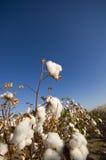 棉花域收获 库存图片