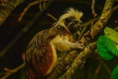 棉花头等的绢毛猴伦敦动物园 库存照片