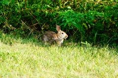 棉花尾巴兔子 库存照片
