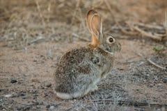棉花尾巴兔子 免版税图库摄影