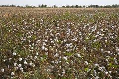 棉花庄稼乌兹别克斯坦 库存图片