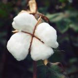 棉花庄稼关闭 变老的照片 印度 免版税库存图片