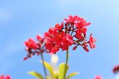 棉花有叶的麻风树属 免版税库存照片