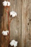 棉花有机植物发芽特写镜头木背景 免版税库存照片