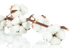 棉花枝杈 免版税库存图片