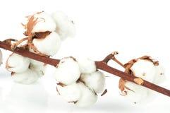 棉花枝杈 库存照片