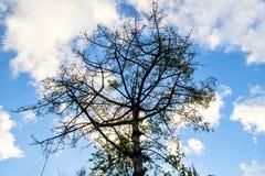 棉花树,木棉树,红色棉花树,丝光木棉, Shving刷子, 免版税库存图片