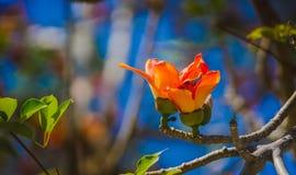 棉花树,木棉树,红色棉花树,丝光木棉, Shving刷子 免版税库存图片