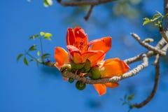 棉花树,木棉树,红色棉花树,丝光木棉, Shving刷子 免版税图库摄影