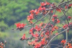 棉花树 免版税图库摄影