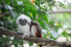 棉花猴子俄狄浦斯saguinus绢毛猴顶层 库存照片