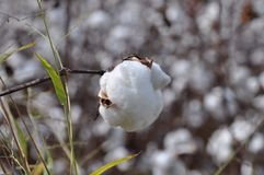棉花球 库存图片