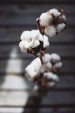 棉花的枝杈 库存图片