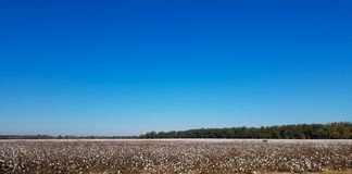 棉花的领域 射击在乔治亚 库存图片