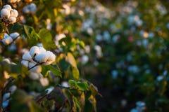 棉花的领域 免版税库存照片
