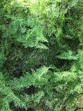 棉花糖蕨在森林里 免版税库存照片