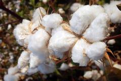 棉花结构树 免版税库存图片
