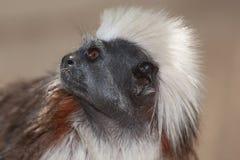 棉花绢毛猴顶层 免版税图库摄影
