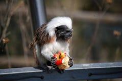 棉花绢毛猴顶层 库存照片