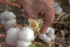 棉花花乌兹别克斯坦羊毛 免版税库存照片