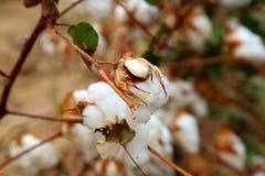棉花芽 免版税库存图片