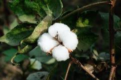 棉花蒴和叶子 免版税库存图片