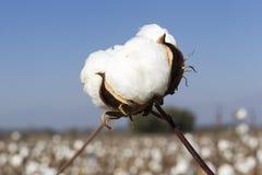 棉花调遣与成熟棉花的白色准备好收获 免版税库存图片