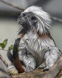 棉花顶层绢毛猴 库存图片
