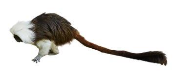棉花顶层绢毛猴 免版税库存照片