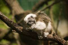 棉花顶层绢毛猴 库存照片