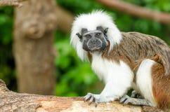 棉花顶层绢毛猴 图库摄影