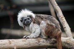棉花顶面绢毛猴 免版税库存照片