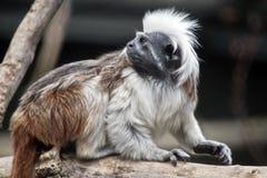 棉花顶面绢毛猴 库存图片