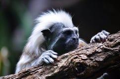 棉花顶面绢毛猴猴子 库存图片