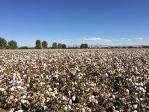 棉花领域农场 免版税库存照片