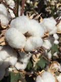 棉花领域农场 免版税库存图片
