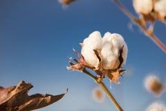 棉花领域在Oakey,昆士兰 免版税库存图片