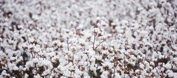棉花领域在Oakey 图库摄影