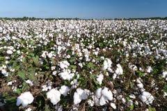 棉花领域 免版税库存照片