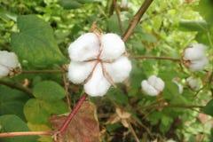 棉花领域 库存图片