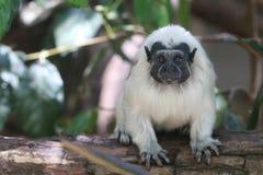 棉花头等的绢毛猴(Saguinus俄狄浦斯) 免版税库存图片