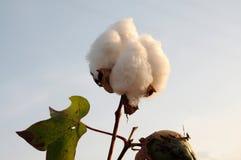 棉花 库存照片