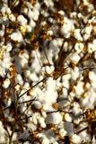 棉花 库存图片