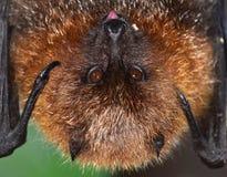 棒停留舌头的果子rodrigues 免版税库存照片