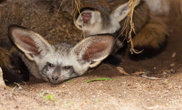 棒有耳的狐狸和他的系列 库存图片