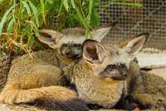 棒有耳的狐狸家庭画象  库存照片